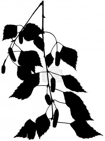 Illustration for Birch Branch - black detailed silhouette, vector - Royalty Free Image