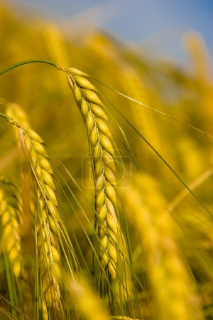 Photo for Yellow grain ready for harvest growing in a farm field - Royalty Free Image