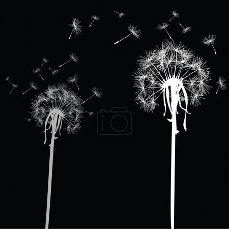 White dandelions on black background