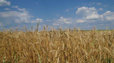 Edge of a wheaten field
