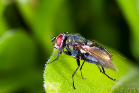 Photo for Macro of a colorful red eyed fly on a leaf - Royalty Free Image
