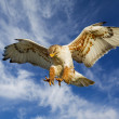 Large Ferruginous Hawk in attack mode with blue sk...