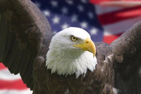 Photo for Bald eagle with American flag, focus on head (clipping path) - Royalty Free Image