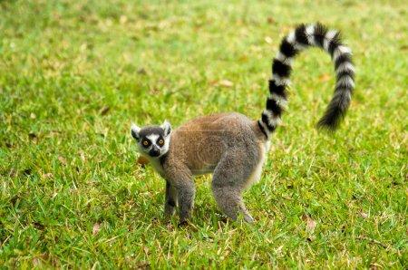 Lemur Catta Maki