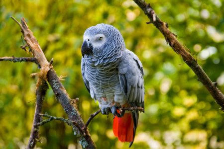 Photo pour Le perroquet gris d'Afrique repose sur une branche - image libre de droit