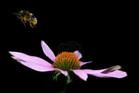 Photo pour Echinacea purpuria et bourdon en partance - image libre de droit