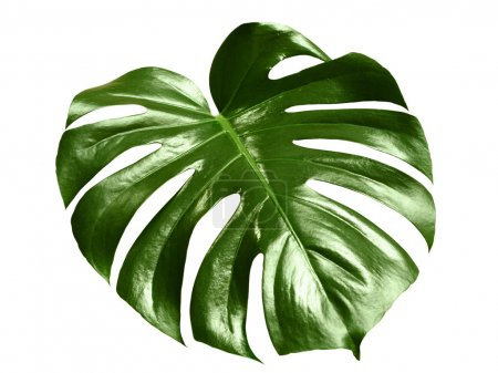 Glossy monstera leaf