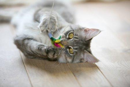 Photo pour Mignon chaton gris allongé sur un plancher en bois joue avec son jouet - image libre de droit