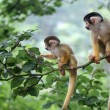 Two small squirrel monkey looking for trouble and ...