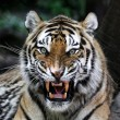 Close up of a tiger's face with bare teeth...
