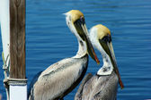 Dva mladí pelikánů