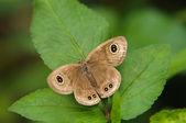 Melanitis leda butterfly