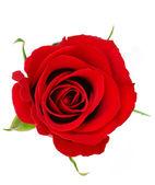 Rudá růže