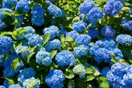 Foto de Manojo de flores de Hortensia en el sol de primavera en flor azul - Imagen libre de derechos