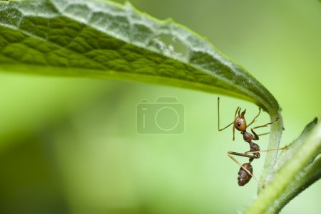 Red ant in macro