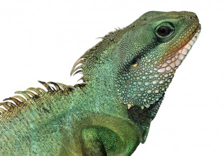 Reptile animal lizard isolated in white