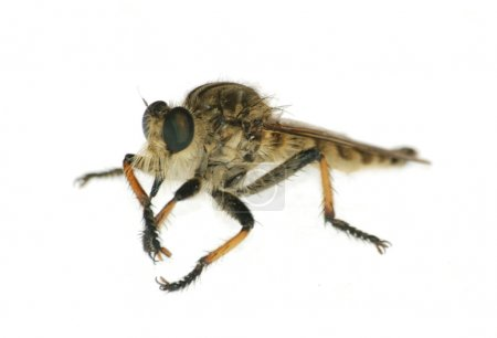 Insect gad horse fly