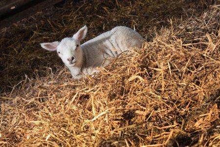 Lamb in haystack