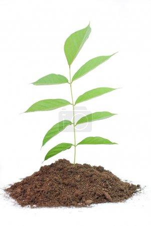 Photo for Seedling in soil isolated on white background. - Royalty Free Image