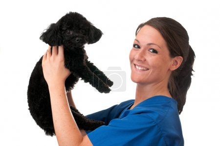 Photo for Veterinary assistant holding pet poodle isolated on white background. - Royalty Free Image