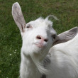Happy goat, agriculture commercial...