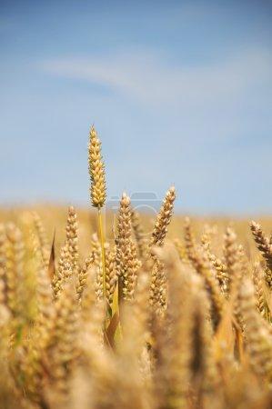 Wheat Field - Portrait