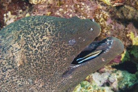 Photo pour Murène géante sur un récif corallien avec une ride plus propre dans sa bouche - image libre de droit