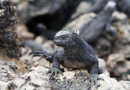 Photo pour Iguane de galapagos - image libre de droit