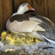 A Muscovy Duck On A Nest With Her Newly Hatched Du...