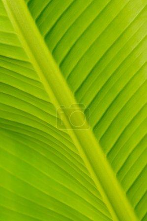 Foto de Primer plano de la hoja del plátano fresco - Imagen libre de derechos