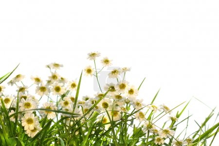 Photo for Little wild daisies on white background - Royalty Free Image