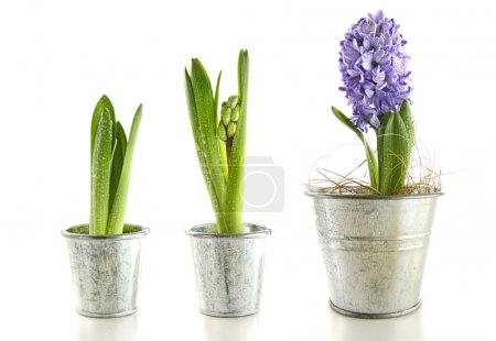 Purple hyacinth in garden pots on white