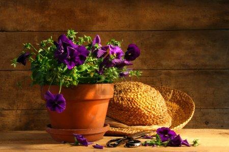 Pruning purple pansies
