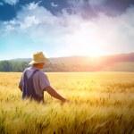 Farmer walking through a golden wheat field...