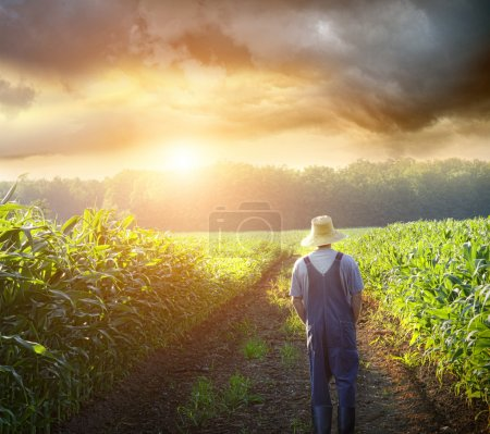 Farmer walking in corn fields at sunset