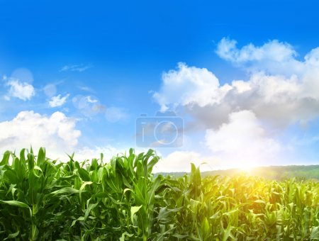 Field of young corn growing against blue sky