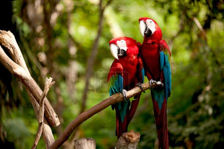 Photo for Colorful scarlet macaw perched on a branch - Royalty Free Image