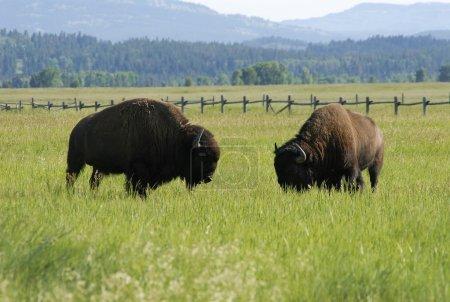 Photo pour Pâturage des bisons dans le parc national du Grand Teton - image libre de droit