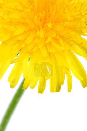 Photo pour Gros plan partie de macro de fleur de pissenlit - image libre de droit