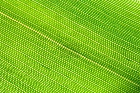 Photo pour Veine de feuille verte gros plan macro fond naturel - image libre de droit