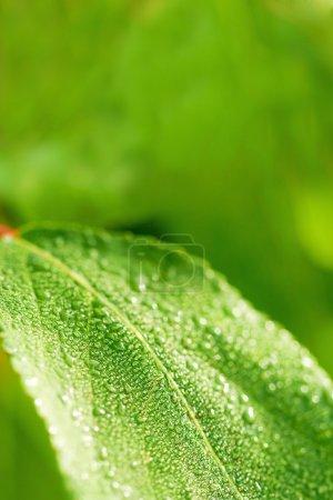 Photo pour Feuille humide verte fond naturel, espace de copie pour le texte - image libre de droit