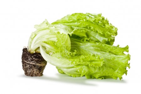 Green isolated lettuce with soil