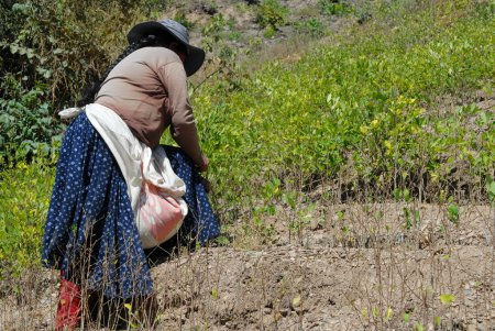 Photo pour Plantes de Coca dans les montagnes des Andes, la Bolivie - image libre de droit