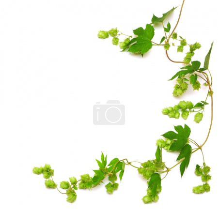 Photo for Hops plant twined vine, young leaves isolate on white - Royalty Free Image