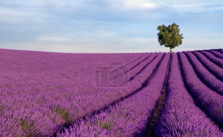 Rich lavender field with a lone tree