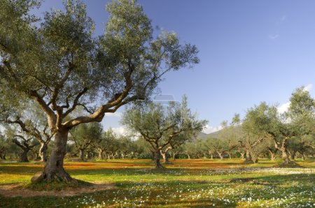 Olive tree field in Kalamata, Greece