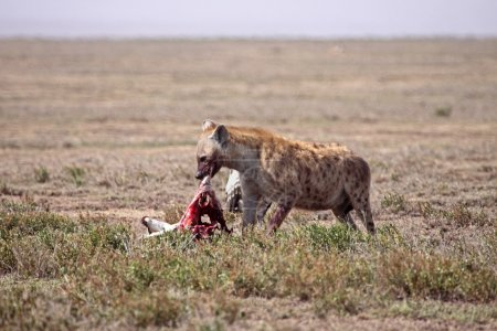 Spotted Hyena Feasting