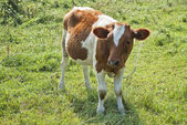 White and brown beef calf
