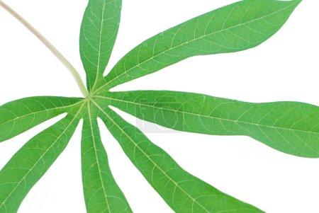 Green tapioca leaf