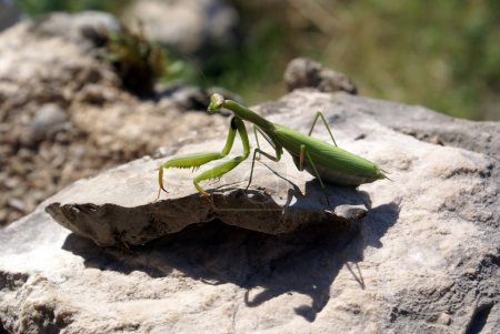 Mantis religiosa on the stone...